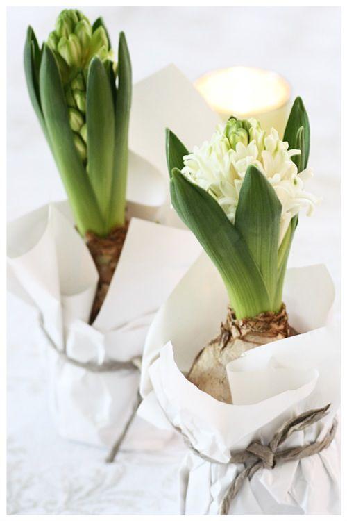 Flores de primavera bulbos